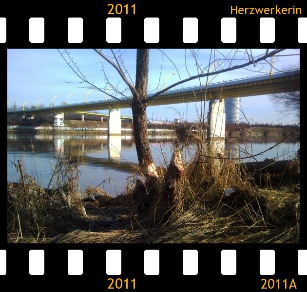 Abgeknabberter Baum, Biber hat seine Spuren hinterlassen im Hintergrund Wasserspiegelung und Brücke
