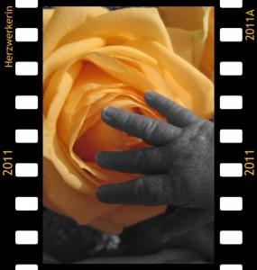 sehr kleine Hand in schwarz-weiß vor Gelber großer Rose